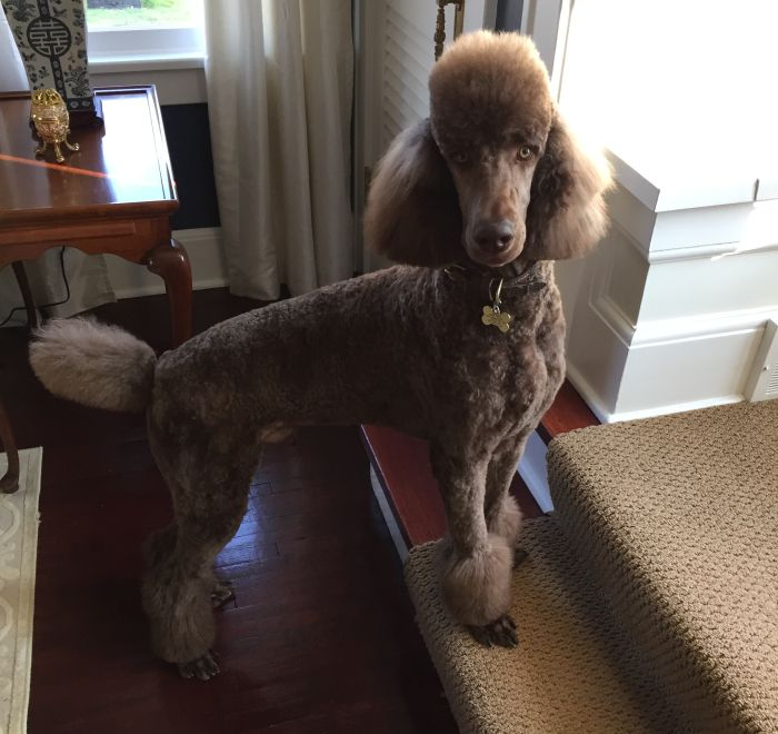 Standard Poodle Puppies For Sale - Breeder in Ohio | Kingdom