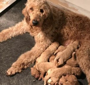 Goldendoodle & Golden Retriever Puppies For Sale in Ohio | Kingdom