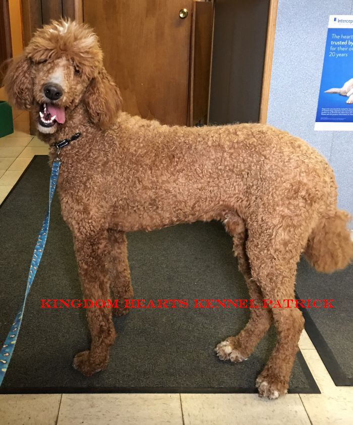 Standard Poodle Puppies For Sale Breeder In Ohio Kingdom Hearts